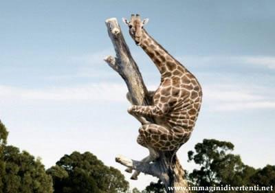 Immagine Foto Divertente: Immagine Foto Divertente Giraffa