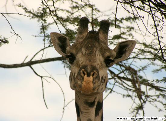 Immagine Divertente Giraffa: Immagine Divertente Giraffa