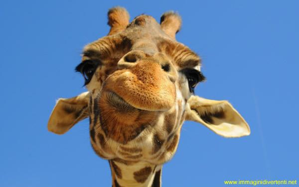 Immagine Divertente Giraffa: Immagine Divertente Giraffa Smorfiosa