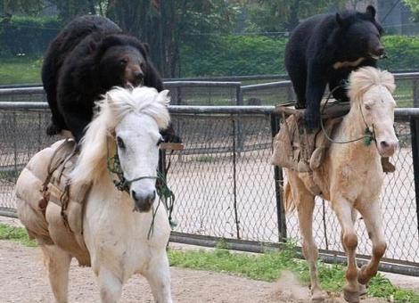 Immagine Divertente Orsi A Cavallo: Immagine Divertente Orsi a cavallo